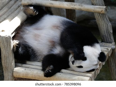 Panda laying down on the wooden bench at zoo in Kuala Lumpur, December 25, 2017.