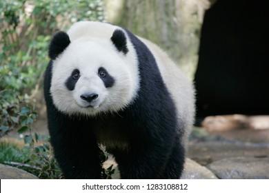 Panda looking at camera
