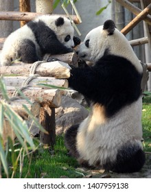Panda mother and cub at Chengdu Panda Reserve (Chengdu Research Base of Giant Panda Breeding) in Sichuan, China. Two pandas looking at each other. Subject: Pandas, Cub, Reserve, Chengdu.