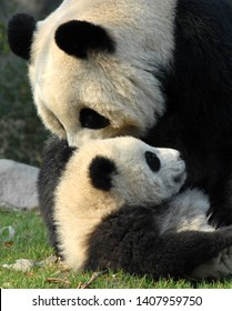 Panda mother and cub at Chengdu Panda Reserve (Chengdu Research Base of Giant Panda Breeding) in Sichuan, China. Two pandas playing with each other. Many pandas are born here. Subject: Pandas, Chengdu