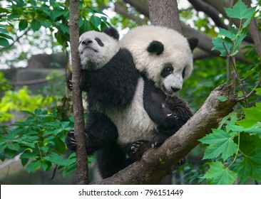 Panda mother and cub in forest in China
