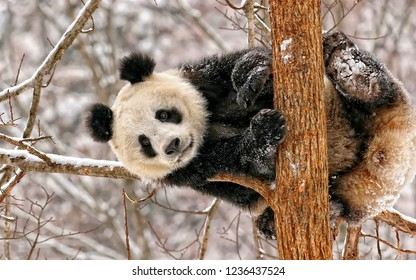Panda on the tree in winter
