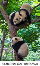 Panda playing in a tree in Chengdu , Sichuan , China