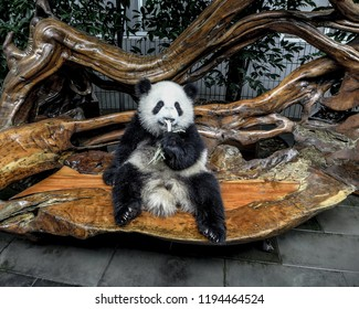 Panda Portrait Eating Bamboo