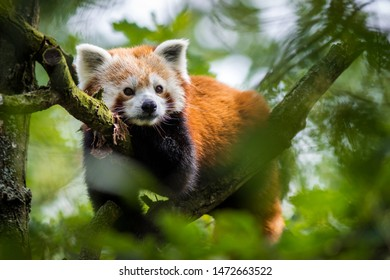 panda red on the tree