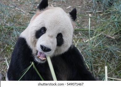 Panda in Shanghai