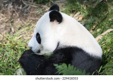 Panda sitting down among foliage