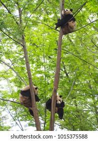 Panda sitting on trees at Chengdu Research Base of Giant Panda Breeding , China.