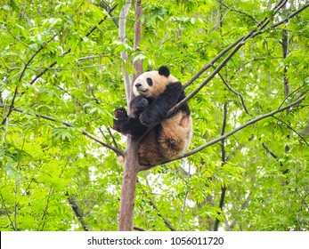Panda is sleeping on the tree at Chengdu Research Base of Giant Panda Breeding.