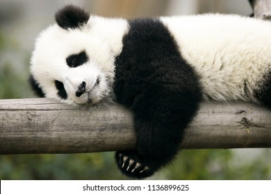 Panda sleeping on a tree trunk