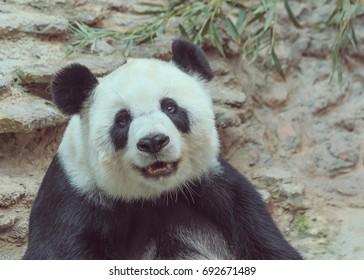 Panda smiles after eating.