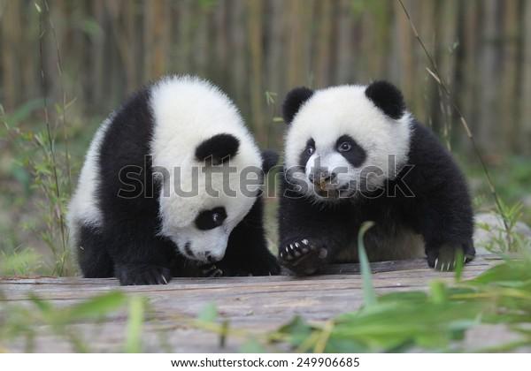 PANDA TRIPLETS DEMI-ANNIVERSAIRE Les triplets, qui ont atteint l'âge de 6 mois le 1er février, étaient la quatrième série de triplets de panda géants nés à l'aide de procédures d'insémination artificielle en Chine.