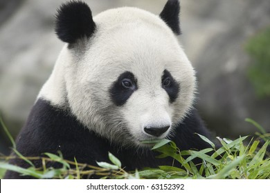 The panda which has a meal