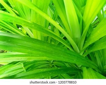 Pandan leaf background