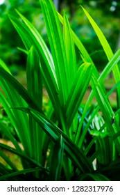 Pandan Leaf , Close Up , Selective Focus