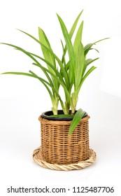 Pandan leaves, Fragrant pandan, Pandom wangi,tree and green leaves ,Thai  herb have property medicine.