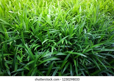 Pandan trees garden, plant area for Pandan leaf, ingredient plant in Thai kitchen for good smelling.