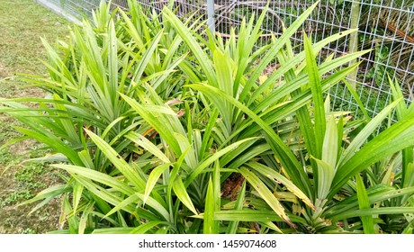 Pandan trees garden, plant area for Pandan leaf, ingredient plant in kitchen for good smelling.