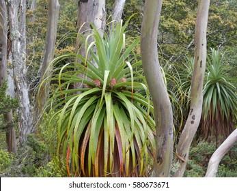 Pandani ( Richea Pandanifolia ) at Pandani Grove Nature Walk, Mount Field National Park, Tasmania,Australia