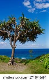 Pandanus on beachfront at Point Cartwright