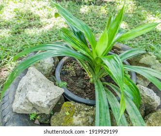 Pandanus plants grown in the front yard