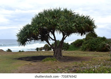 Pandanus tree near the sea