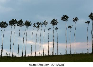 pandanus trees, thin tall trees