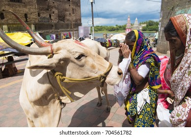 Pandharpur / India 25 August 2017 An Indian Hindu devotee offers prayers to a sacred cow at Pandharpur in Solapur district  Maharashtra  India
