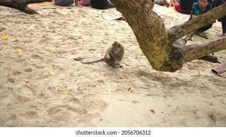 Pangandaran, Indonesia - October 10 2021 : On Pangandaran beach, there are monkeys eating leftover food left by tourists. Everyone who saw it was scared and happy to see monkeys up close