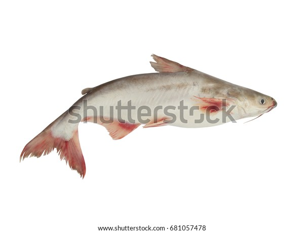 Pangasius Conchophilus Fish Isolated On White Stock Photo