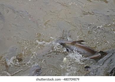 Pangasius eats feed