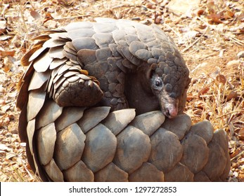 Pangolin close up with scales