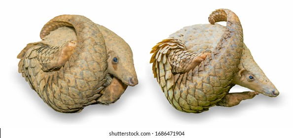 The pangolin curled up on white background, which was the nest of termites for fear. It is a mammal with scales on the skin. Commonly used as an ingredient in Chinese medicine. with clippingpath.