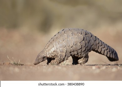 Pangolin digging in the Kalahari