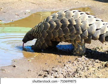 Pangolin drinking