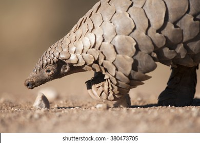 Pangolin foraging for ants