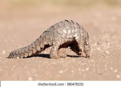 A Pangolin hunting for ants.