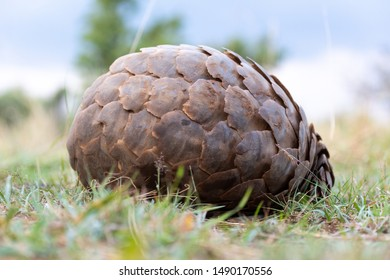 Pangolin lies on grass rolled into ball