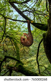 Pangolin (Manis javanica) hanging on the tail in the forest