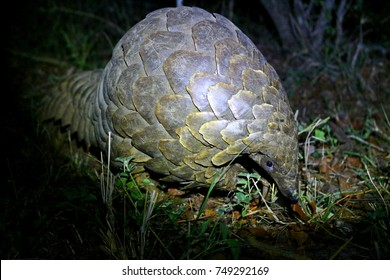 Pangolin at Night