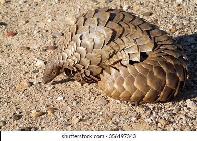A Pangolin in the Northern Cape region of South Africa Sometimes called an Anteater