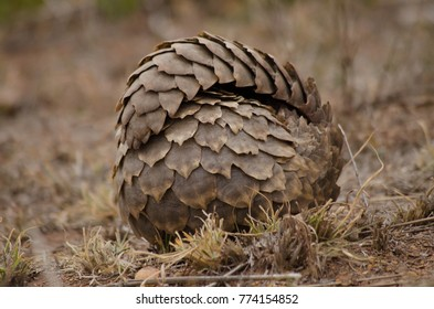 Pangolin Rolled Up