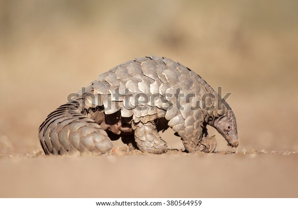 A pangolin searches for ants.