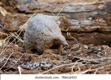 Pangolin searching for food