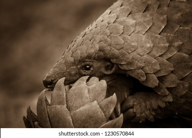 pangolin in sepia