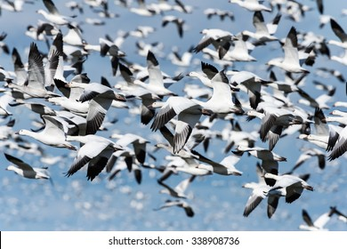Panicked Snow Geese Taking off and Flying against Blue Sky in Fall