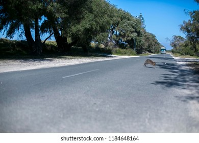 ฺ Panicking blurry picture of small cute wildlife domestic animal Quokka mum running across the tar road while the bus is coming at isolated Rottnest Island tourist destination in Perth WA, Australia