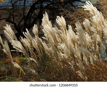 Panicle of miscanthus Chinese (Miscanthus sinensis) in autumn