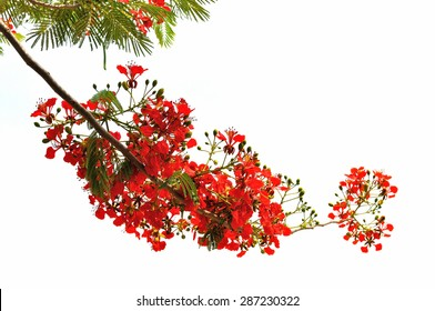 panicle royal  poinciana tree (delonix regia) and flame tree or peacock  flower on white background