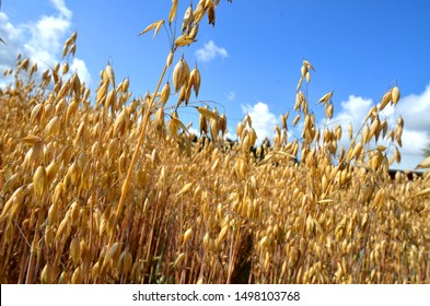 Panicles of Common Oats (Avena sativa) ready for harvest. Oat field in Finland